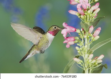 Broad-tailed Hummingbird, Selasphorus platycercus,male in flight feeding on Penstemon flower (Penstemon sp.), Rocky Mountain National Park, Colorado, USA, June