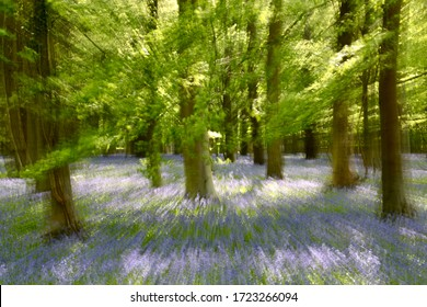Broadway Woods, Cotswolds, Gloucesteershire, England Sunlit bluebells and beech Woodland with artistic blur to create impressionist images