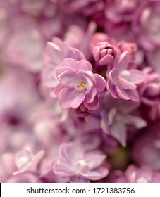 Broadway Woods, Cotswolds,Gloucestershire England Close up of Pink Lilac flowers