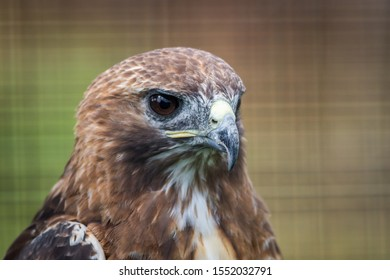 Broad-winged Hawk (Buteo platypterus) closeup looking right against green background