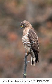 Broad-winged Hawk perched while hunting