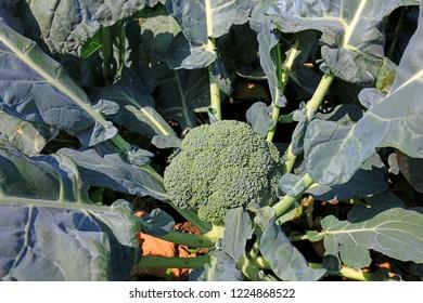 Broccoli in the field