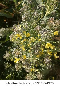 Broccoli growing in the garden. Vegetable from the Spanish orchard.