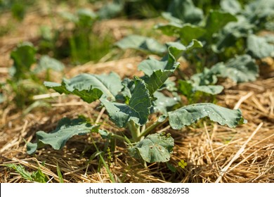 Broccoli growing in mulch made of straw.  Permaculture agriculture. Mulch protects from drying out quickly and prevents weed in the garden.