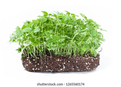 broccoli microgreen shoots isolated on white background