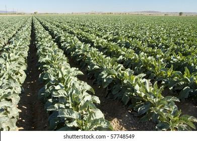 Brokkoli Pflanzen wachsen auf einem Feld nahe Yuma Arizona.