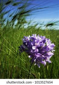 Brodiaea, purple wildflower in spring in Chico California