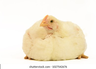 Broiler chicken 30 days old isolated on white