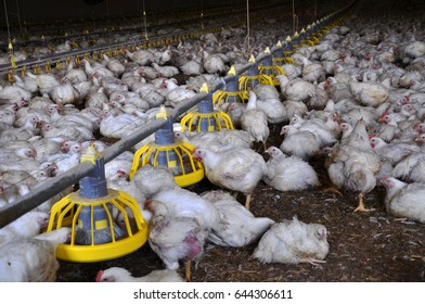 Broiler chickens on a modern poultry farm near feeders with feed