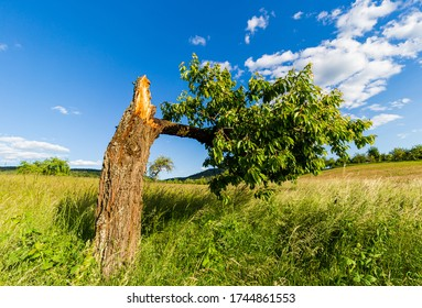 Broken cherry tree. Areas outside the city. Wild fruit tree. Bark on the tree. A rotten branch.