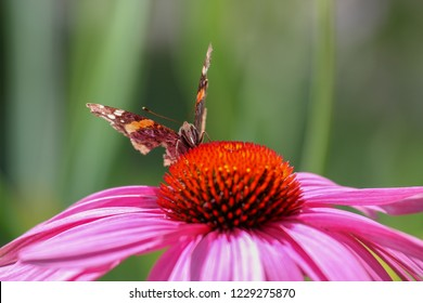 Broken damaged Butterfly on echinacea
