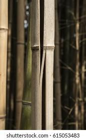 broken dry bamboo cane