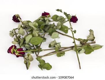 Broken faded roses on white background