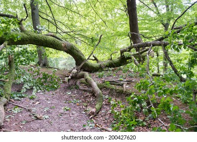 Broken oak tree as damage from a storm in a forest