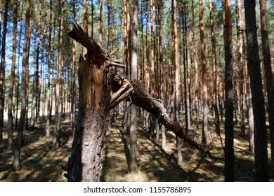 broken pine tree trunk in coniferous  forest