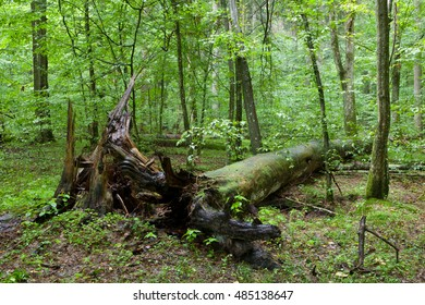 Broken pine tree trunk lying rain after among deciduous trees, Bialowieza Forest, Poland, Europe