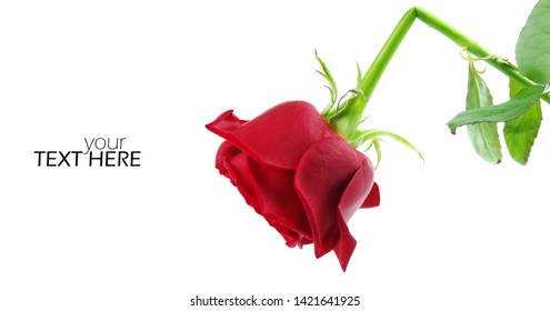 Broken rose with the copy space