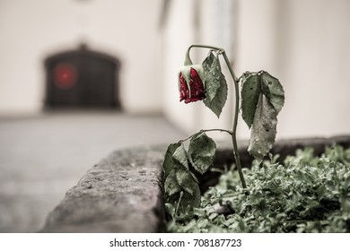 Broken Rose in the Rain