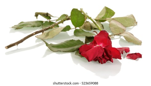 Broken, sluggish, rose with fallen petals isolated on white background