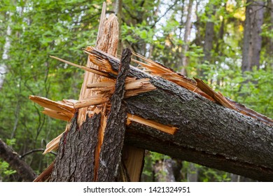 Broken spruce tree trunk in a forest, close up photo