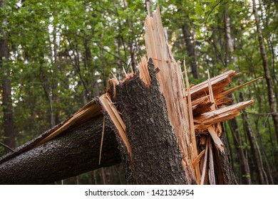Broken spruce tree trunk in a forest