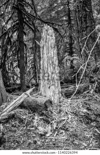 Broken Tree Along Bagby Hot Springs Stock Photo (Edit Now