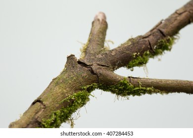 A broken tree branch covered in green moss and cracks