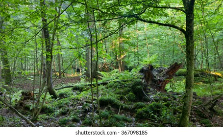 Broken tree stump moss covered and ferns layer above them in springtime, Bialowieza Forest,Poland,Europe
