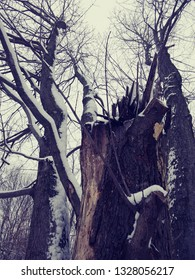 broken tree trunk with three other trunks and snow