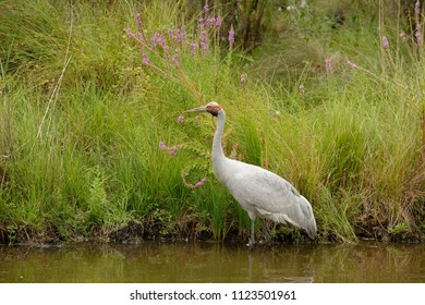 The brolga (Antigone rubicunda), formerly known as the native companion, is a bird in the crane family. It has also been given the name Australian crane