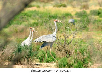 Brolga dances on the Mulligan River floodplain, Ethabuka Australian Bush Heritage Fund Reserve, northern Simpson Desert/Channel Country (Mulligan River), southwest Queensland, after rain.
