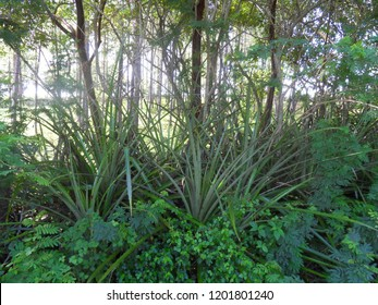 Bromelia pinguin is planted as a fence around pasture lands, on account of its prickly leaves