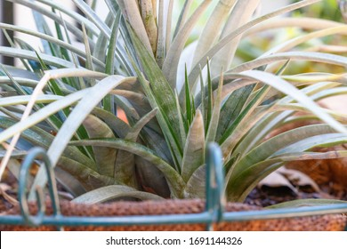 bromeliad bromeliaceae monocot tropical colorful indoor and outdoor airplant ancient plant
