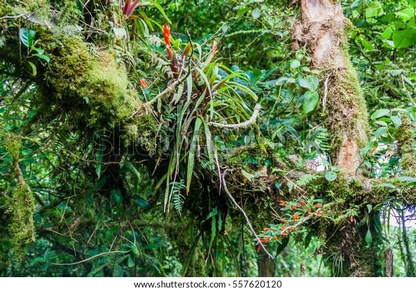 Bromeliad Cloud Forest Reserva Biologica Bosque Stock Photo Edit Now 557620120
