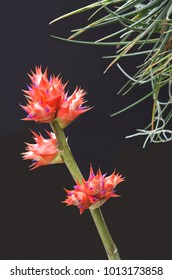 bromeliad plant or aechmea fasciata and flowers in full bloom on long stem and plant foliage against black