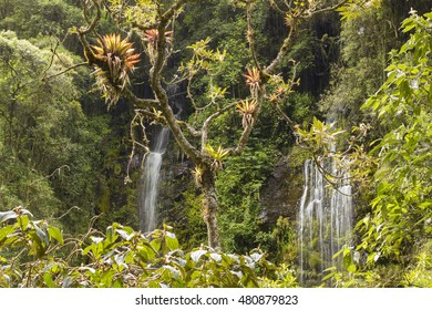Bromeliads growing on a cloudforest tree with a spectacular waterfall in the background on a rainy day. In the Rio Pita Valley near Cotopaxi Volcano, Ecuador.