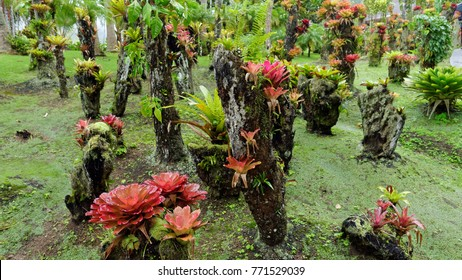 Bromeliads of Martinique.