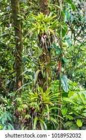 Bromeliads on tree in the jungle of the Atlantic Rainforest, Serrinha do Alambari, Rio de Janeiro, Brazil