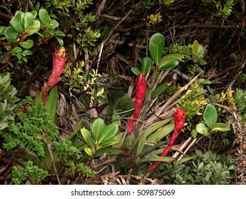 Bromeliads Werauhia ororiensis in cloudforest, Poas National Park, Costa Rica