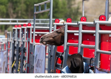Bronc kept poking its head up over the gate to see what was going on.