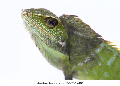 Bronchocela jubata, commonly known as the maned forest lizard, is a species of agamid lizard found mainly in Indonesia isolated on white background