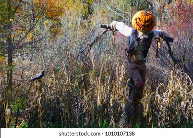 The Bronx, New York, USA: Halloween scarecrow with a carved pumpkin head, white shirt, black vest, and brown pants in a field in the New York Botanical Garden.