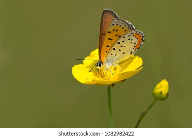 Bronze Copper Butterfly perched on a buttercup flower collecting nectar. Carden Alvar provincial Park, Kawartha Lakes, Ontario, Canada.