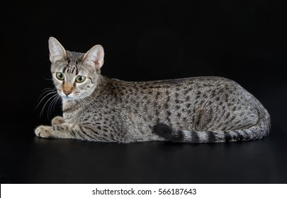 Bronze Egyptian Mau Cat (Felis catus). Naturally spotted breed of domesticated cat.