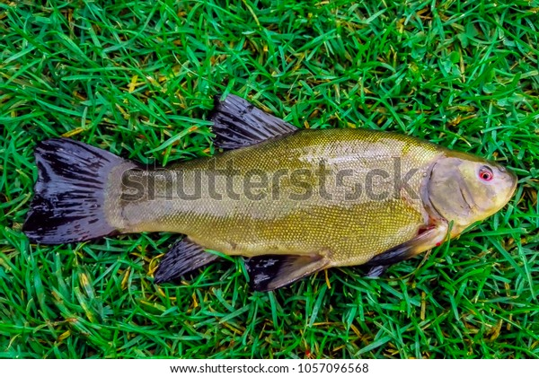 Bronze Fish Red Eyes Green Grass Stock Photo Edit Now 1057096568