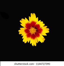 Bronze and gold Coreopsis flower isolated against a dramatic black background