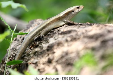 The bronze grass skink or bronze mabuya (Eutropis macularia) is a species of skink found in South and Southeast Asia.
