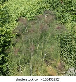 Bronze or Purple Leaf Fennel (Foeniculum vulgare 'Purpureum') in a Herb Garden in Rural Devon, England, UK