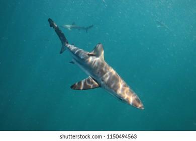 bronze whaler or copper shark, Carcharhinus brachyurus, Cape Infanta, South Africa, Indian Ocean