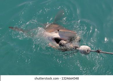 bronze whaler or copper shark, Carcharhinus brachyurus, trying to take the bait, Gansbaai, South Africa, Atlantic Ocean